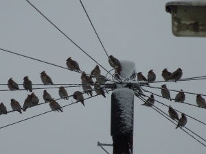 A flock of Waxwings on the telegraph pole.