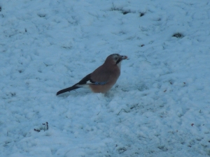 Jays - and they say the UK just has small brown birds