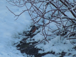 Bullfinch in the snow