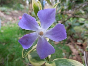 Vinca - An unexpected pleasure
