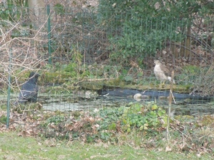 Standoff - Sparrowhawk and Crow try to outstare each other