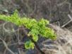 Lichen (3)