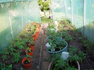 Our Polytunnel with Tomatoes and Peppers