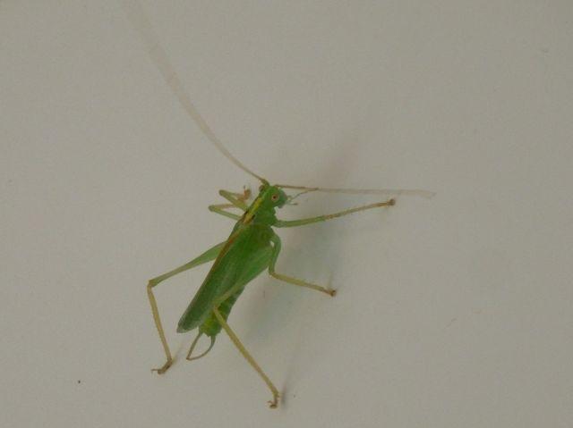 Oak Bush Cricket