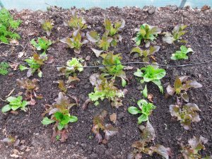 Living Salad Lettuces in the polytunnel