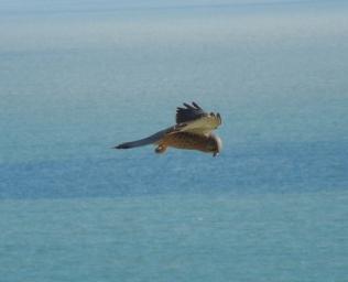 Kestrel in the wind