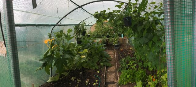 polytunnel-Late-July - 1